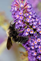 Große Holzbiene am Schmetterlingsflieder
