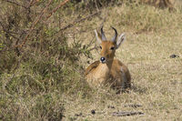 COMMON REEDBUCK male lying under a bush in the savannah sunny day