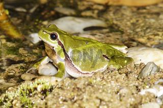Europaeischer Laubfrosch, Hyla arborea, European tree frog