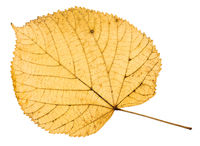back side of yellow autumn leaf of linden tree