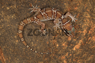 Termite hill geckos are fairly large geckos which bear distinct bands on their dorsum. Commonly found in and around termite mounds