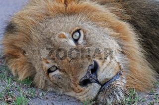 Löwe, Löwenmännchen, Südafrika