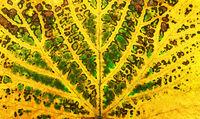 autumn vine leaf texture
