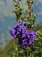 Monkshood, purple wildflower.