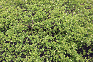 Thousands of small green leaves on a spring bush