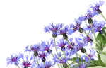 Blue cornflowers postcard