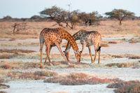 Two Namibian giraffes are elegantly crossing their necks
