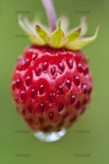 Walderdbeere, Fragaria vesca (englisch: Woodland strawberry), Rena, Hedmark, Norwegen