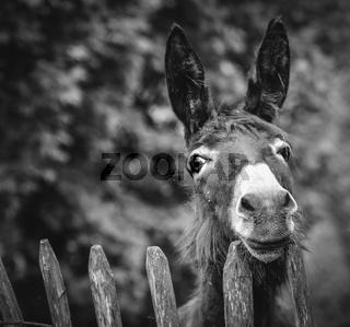 Ein Esel blickt über den Zaun