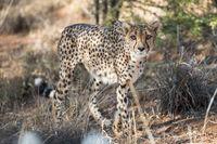 Close view of a cheetah in savanna woodlands of cheetahs farm