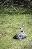 Southern screamer (Chauna torquata), also known as the crested screamer, One of the symbols of Uruguay