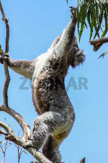 Koala attempt to get the green leaves of an eucalyptus tree, Great Otway National Park, Victoria, Au