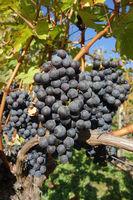 Vitis vinifera Cabernet Sauvignon, Weinberg, vineyard