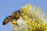 Biene am Weidenkaetzchen