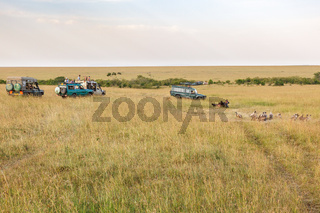 Game drive in the savannah of the Masai Mara in Kenya with a dead animal and vultures
