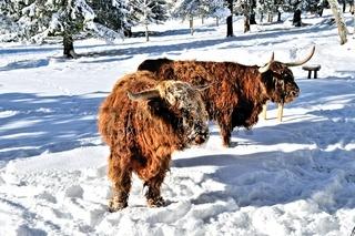 Schottische Hochlandrinder im Winter in Herrenwies Schwarzwald.jpg
