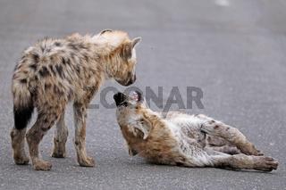 Junge Tüpfelhyänen spielen auf der Straße, Kruger Nationalpark, Südafrica; young hyenas playing on the street, south africa, wildlife, Crocuta crocuta