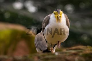 laufender Vogel