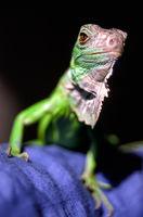 Grüner Leguan