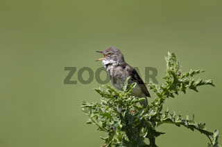 Dorngrasmuecke, Sylvia communis, common whitethroat
