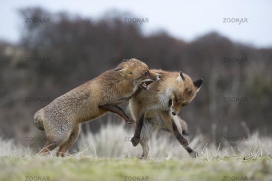 miteinander kämpfend... Rotfüchse *Vulpes vulpes*