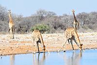 Giraffen beim trinken Namibia