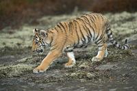 Bengal-Tiger... Königstiger *Panthera tigris*
