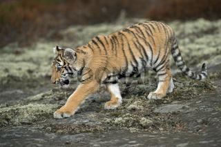 Bengal-Tiger... Königstiger *Panthera tigris tigris*