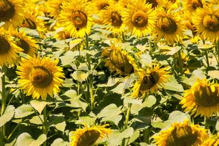 Felder von Sonnenblumen in der Region Maremma in der Toskana, Italien