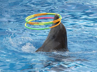 dolphin turns hoops