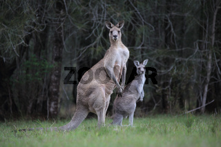 Eastern Grey Kangaroos in bushland