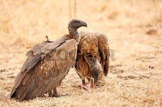 Weißrückengeier, white-backed vultures, gyps africanus, Südafrika, South Africa