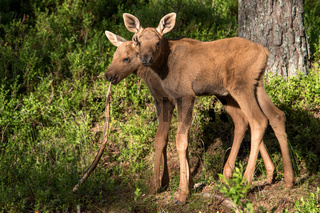 European elk Alces alces two twin calves in the pine and bilberry forest