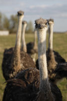 Vogel Strauß Herde