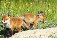 eurasian red fox youngsters in a glade where the animals have their den ( Vulpes )