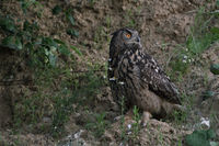 König der Nacht... Europäischer Uhu *Bubo bubo*, Altvogel auf nächtlicher Jagd