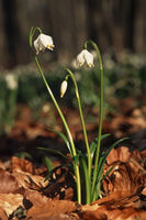 Fruehlings-Knotenblume (Leucojum vernum)