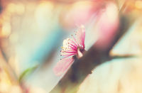 Blossom cherry