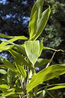 Bambus, indocalamus; latifolius