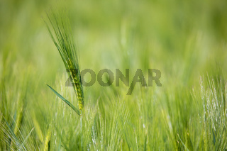 spring field with Organic grains