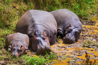 Hippopotamus, Kenya, Africa