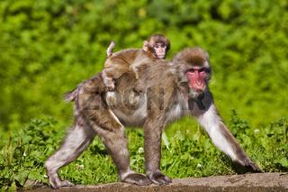 Japanmakak, Schneeaffe oder Rotgesichtsmakak (Macaca fuscata) mit Baby / Japanese Macaque (Macaca fuscata) with baby