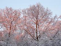 Verschneiter Baumwipfel bei Sonnenaufgang