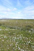 Wollgras auf Island