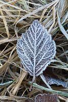 Fallen frosty leaves