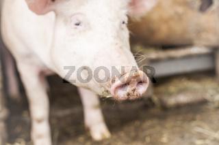 Ein Schwein auf einem Bauernhof komtm aus dem Stall raus.