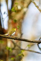 Singing Wood Warbler sitting at tree branch in springtime