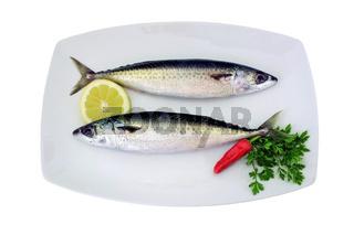 Makrelen - scomber scombrus