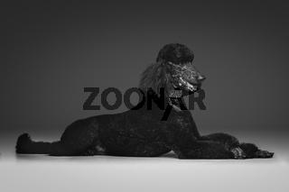 beautiful black poodle on grey background