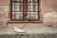 Pigeons in front of a old building window